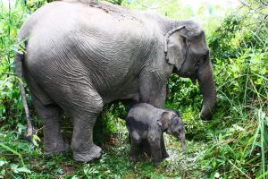A wild elephant with her calf. Photo Credit: Wikimedia Commons