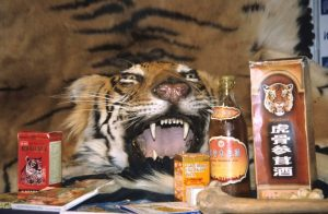 Tiger bone wine is believed to cure a variety of serious diseases. It does nothing of the sort. Photo Credit: Wikimedia Commons