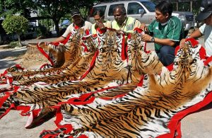 Malaysian officers inspect dried Malayan tiger skins seized from smugglers in Kedah. Photo Credit: EPA