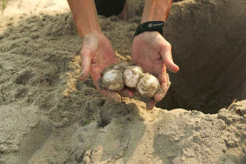 Turtle Eggs from Sabah wind up on Dinner Tables in Brunei