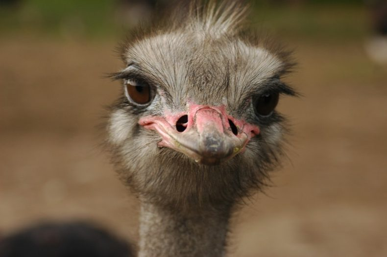 Runaway Ostrich raises some Eyebrows