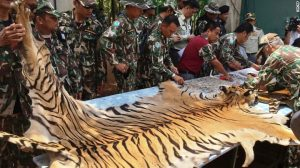 Thai wildlife officials inspect a tiger pelt they have seized from Thailand's notorious Tiger Temple. Photo Credit: CNN