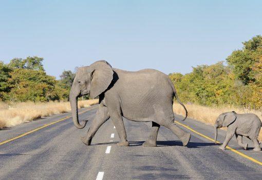 Why do Elephants cross the Road?