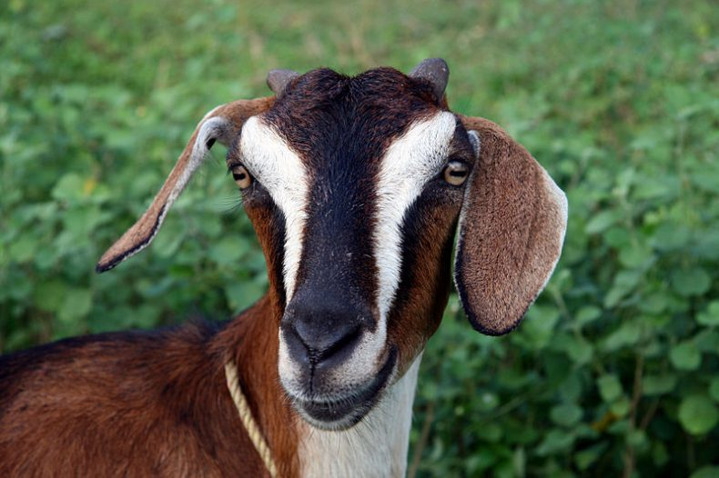 Goats are just as 'Smart as Dogs'