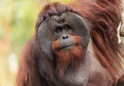 Bornean Orangutans are 'Critically Endangered'