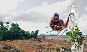 An orangutan perches on the branch of a tree standing at the site of a newly felled forest, which was cut down to make way for a palm oil plantation in Indonesia. Photo Credit: Biosprit-subventionen