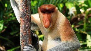 A proboscis monkey perches on a tree. Photo Credit: YouTube