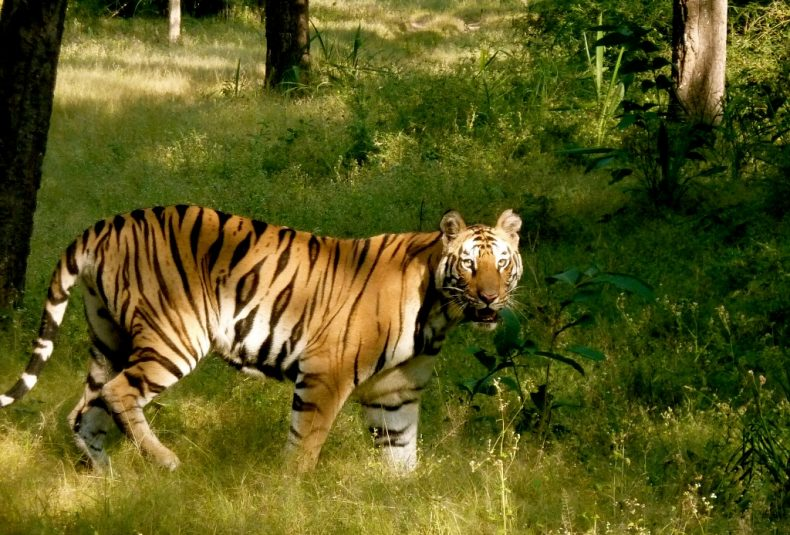 International Tiger Day serves as a Reminder: Tigers need all Our Help