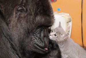 Koko the gorilla with one of her favorite kittens. Photo Credit: Koko Files