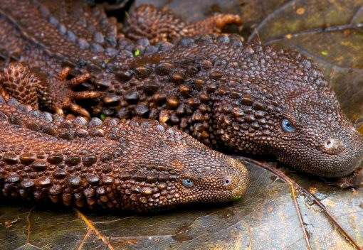Meet Malaysia's latest much-trafficked Exotic 'Pet': Borneo's Earless Monitor