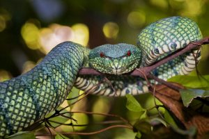 A Bornean keeled pit viper appears ready to strike. Photo Credit: Bjorn Olesen via Mongabay