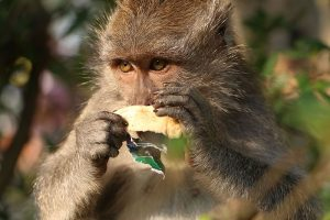 A macaque snacks on a banana. Photo Credit: Wikimedia Commons