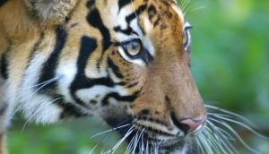 Majestic animals like this Malayan tiger belong alive in the wild, not dead in medicinal concoctions. Photo Credit: WWF