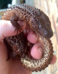 A man holds a young Bornean earless monitor. Photo Credit: Thumblr