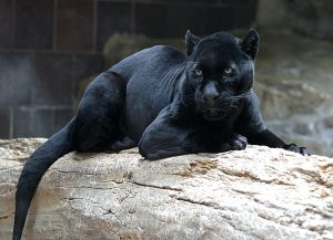 Black leopards are one of Malaysia's prized predators. Photo Credit: Wikimedia Commons