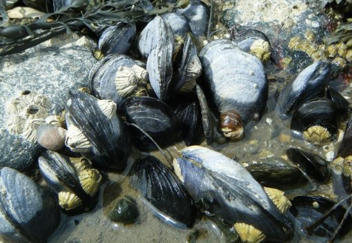 Rare Malaysian Mussels are at Risk