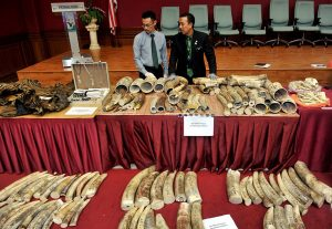 Malaysian wildlife officials display the large haul of elephant tusks seized from 12 wildlife traffickers. Photo Credit: Bernama