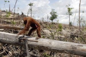 An forlorn orangutan clings to a felled tree trunk in a destroyed forest. Photo Credit: nus.edu.sg