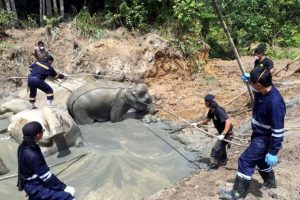 Sabah wildlife officials rescue an elephant stuck in a mud pool near an abandoned quarry. Photo Credit: