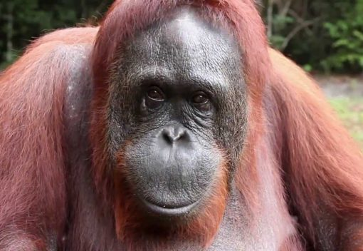 New Database reveals Alarming degree of Illegal trade in Orangutans
