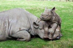A baby rhino takes it easy. Photo Credit: animalia-life.com