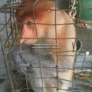 A young proboscis monkey has safely been taken from a residential area in Sibu. Photo Credit: Borneo Post