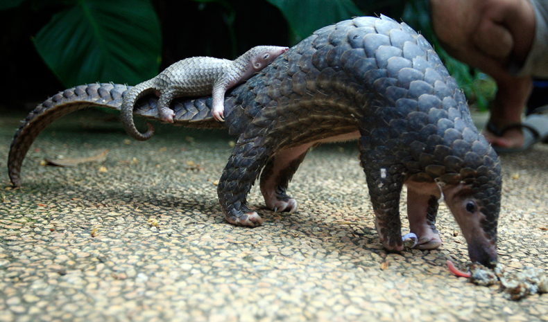 CITES places Total Ban on the Sale of All Pangolins … at Last