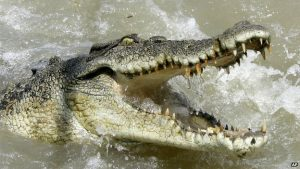 Rampaging crocs can bedevil the lives of locals in riverside communities. Photo Credit: Flickr