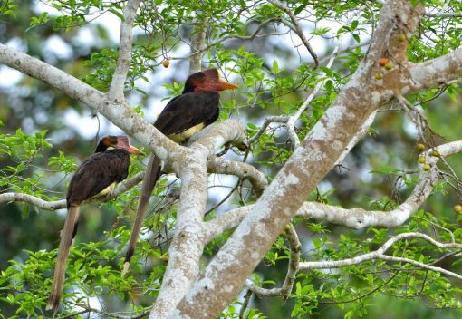 Nations vow to Save Helmeted Hornbills