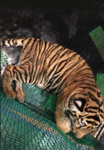 A six-month-old tiger cub was among the animals seized in the coordinated raids. Photo Credit: TRAFFIC