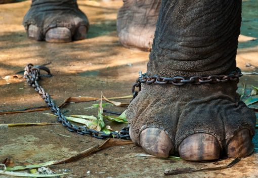 Three months on, Lasah the Elephant remains in Chains and Bondage