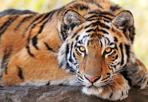 Poachers in Pahang may have just Killed a Tiger