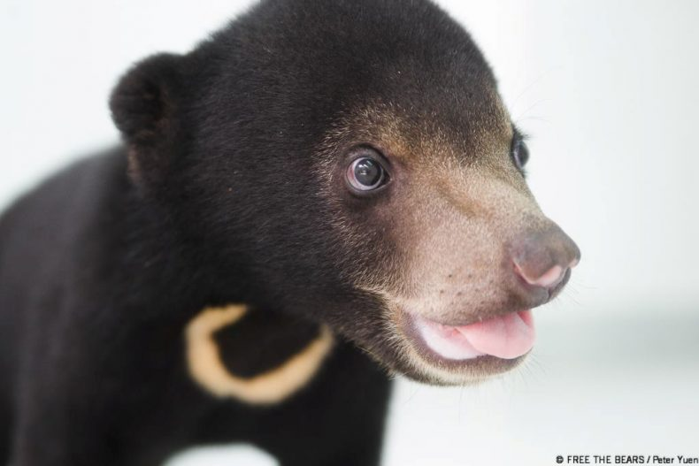 Sun Bears remain at Risk in Malaysia
