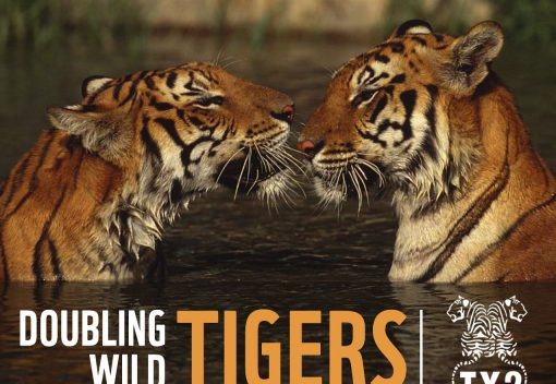 WWF wants to Double the number of wild Tigers by 2022