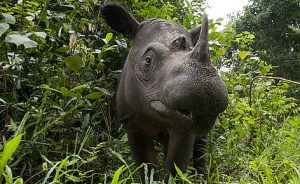 The plight of Sumatran rhinos, which went extinct in the wild last year in Malaysia, should serve as a warning to as about the impending prospects of several other critically endangered species. Photo Credit: WWF