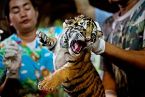 Vets handle a newborn captive tiger cub. Photo Credit: WWF
