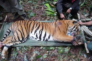 Malaysian wildlife officials rescue a wild tiger from a poacher's snare. Photo Credit: WWF-Malaysia