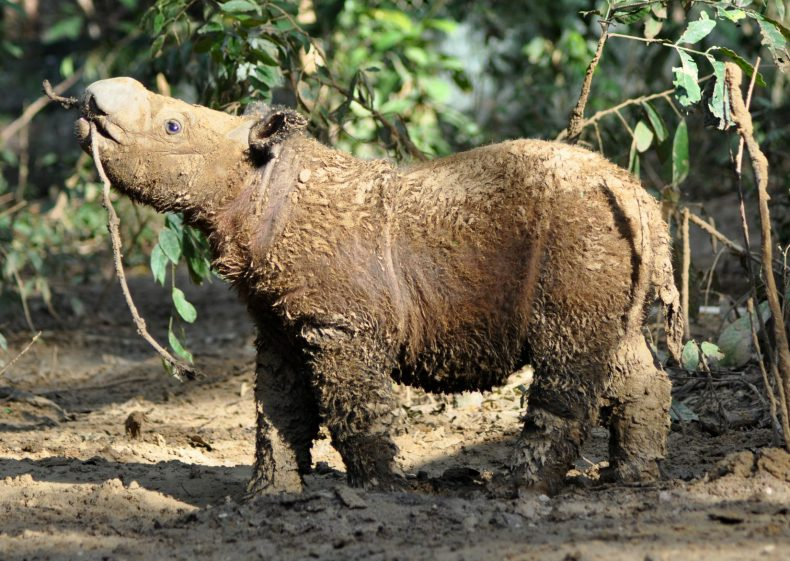 Wild Rhinos might, just might, still be Living in Sabah's Forests
