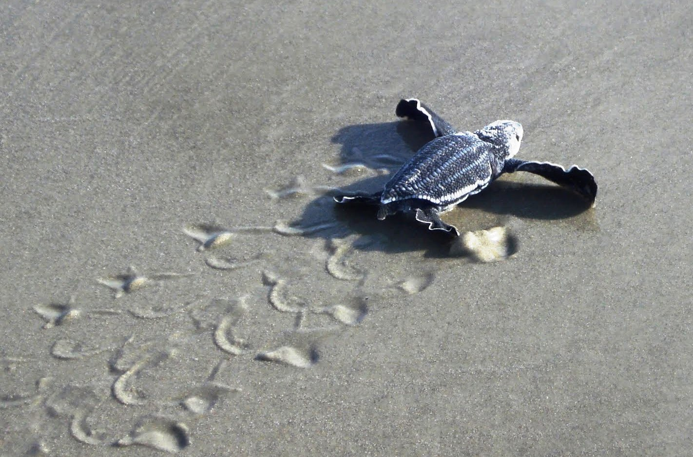 Baby sea turtle on sand clean malaysia baby sea turtle on sand publicscrutiny Gallery