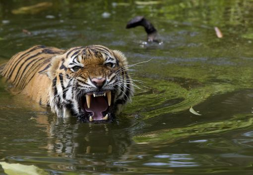 If you love Tigers, help Save Them