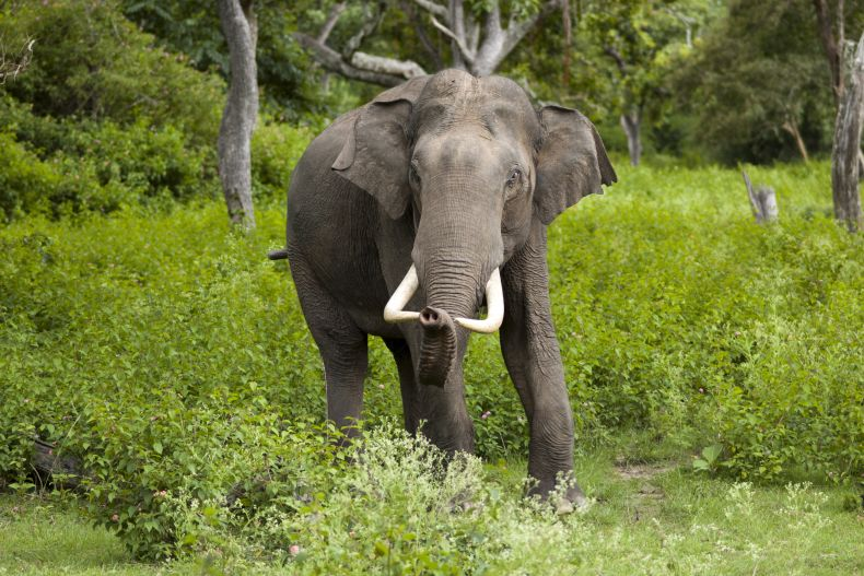 Tusks seized in Kalimantan may have come from two dead Jumbos in Sabah