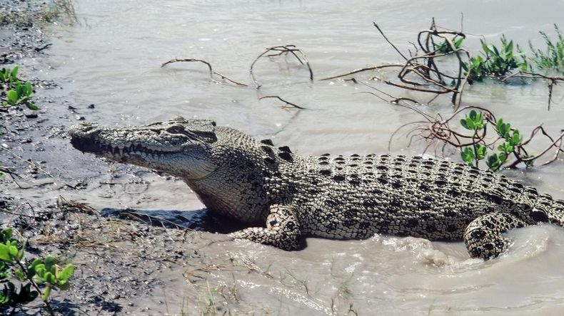 Crocs remain both a Risk and at Risk in Sabah