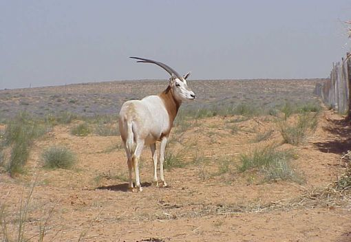 'Extinct' Antelopes return to the Wild