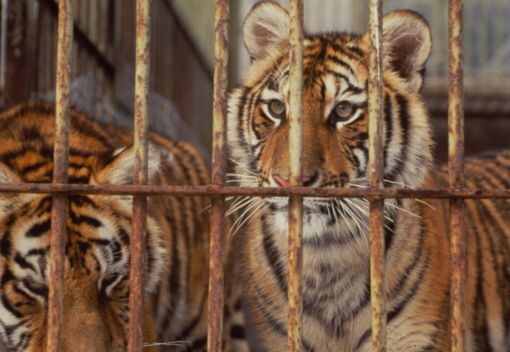 Pity the Tigers: Thailand's infamous 'Tiger Temple' will Reopen as a 'Zoo'