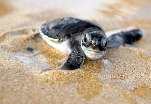 Saving Sea Turtles in Labuan