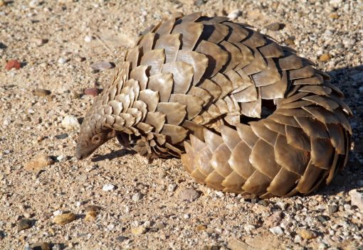 Spare a Thought for the World's Most Trafficked Mammal on Pangolin Day