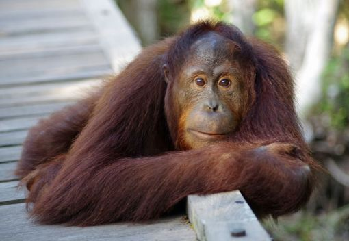 Killing Orangutans for their Meat is an Appalling Crime