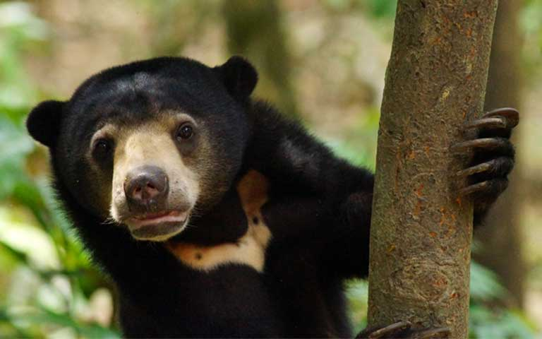 A Sun bear is saved from a Poacher's Snare in a protected Forest in Sabah