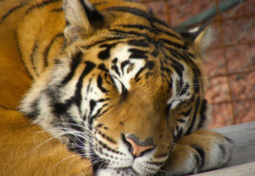 Another Five Tigers are Dead