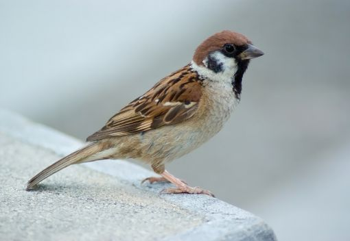 Spare a thought for the little Sparrows